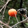 ムクドリと残り柿