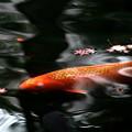 モミジ落葉と緋鯉