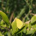 Photos: 黄色い葉のように