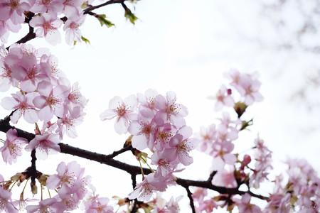 河津桜-6055