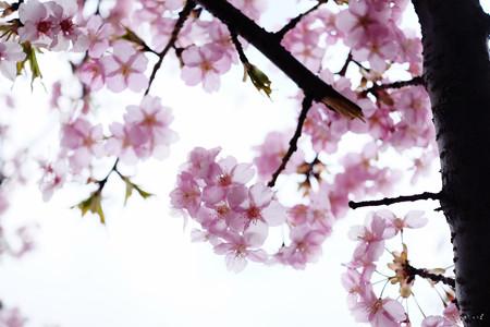 河津桜-6056
