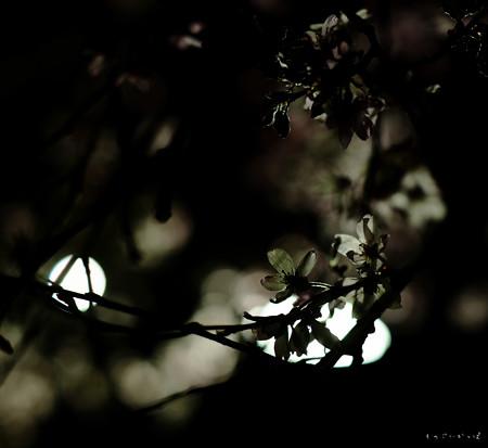 夜桜-5405