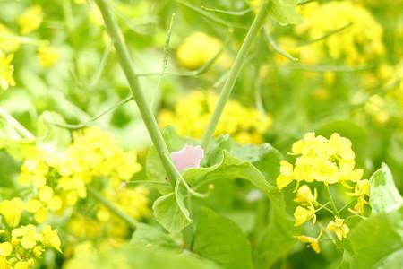 菜の花と桃花-5560