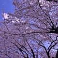 青空と桜 海軍道路の桜並木・・20140405
