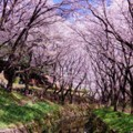 Photos: 天気も良かった引地川の桜並木・・20140405