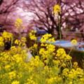 Photos: 引地川の菜の花もひっそりと咲く・・20140405