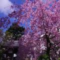 青空と弘明寺の枝垂れ桜・・20140406