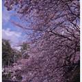 Photos: 青空と弘明寺大岡川の桜・・20140406