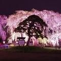 松を彩る枝垂れ桜・・弘前城公園 20140501