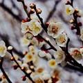 咲き始めた梅。。小田原曽我梅林。。20160207
