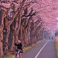 海軍道路の桜並木・・早朝から撮る女子 20150331