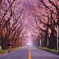 朝の海軍道路の桜並木・・まるでトンネル 20150331