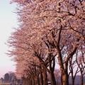 上瀬谷海軍道路桜並木・・朝日に照らせれて 20150331