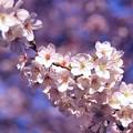 満開の引地川千本桜の桜・・20150331