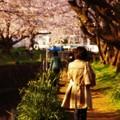 朝の引地川沿いの桜を見ながら通勤・・20150331