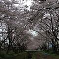 撮って出し。。神奈川県大和市の引地川 千本桜の桜。。4月2日