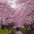 厚木基地近い大和市引地川の桜並木。。20160402