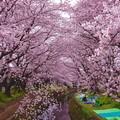 引地川の桜並木。。千本桜 朝からお花見の準備 20160402