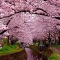 引地川を覆いかぶさるほどの桜の木。。20160402