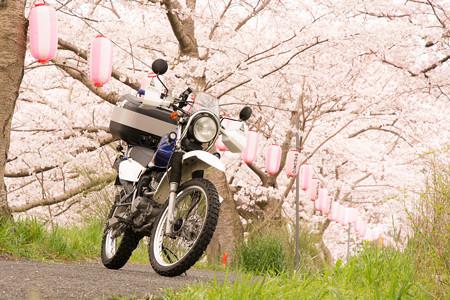 玉川の桜・2