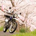 写真: 玉川の桜・2