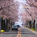 写真: 桜並木の上り坂