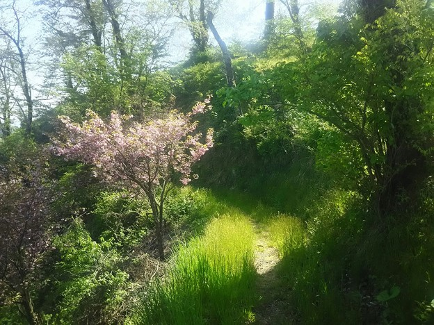 ひっそり八重桜