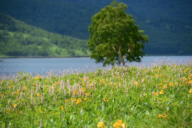 野反湖 ノゾリキスゲの咲くころ(20)