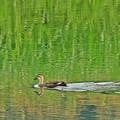 写真: 鴨の流れに・・・