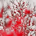 写真: 紅化粧~紅梅