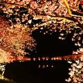 夜桜~満開
