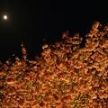 夜桜~月夜