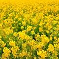 写真: 黄一色
