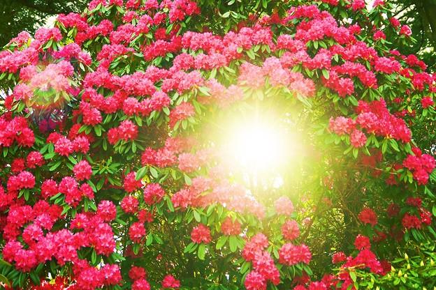 ヒカリへ ~石楠花の森~