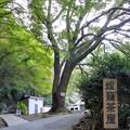 Photos: 燈籠茶屋の大クス