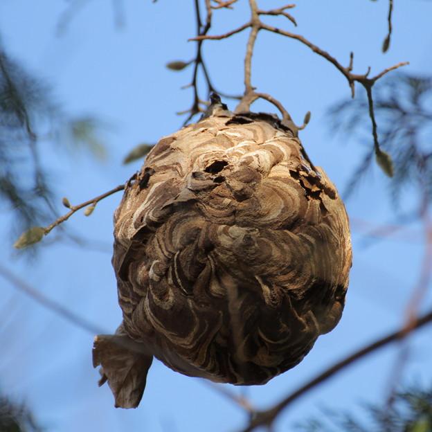 落葉して現れたコガタスズメバチの巣