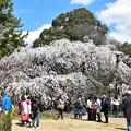 近衛邸跡の糸桜(枝垂れ桜)