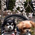 ワンちゃんと桜