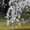 近衛池と桜