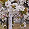 伊豆七島などに 自生する大島桜