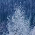 カラマツ樹氷