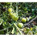 Photos: 1207_庭のトマト