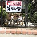 写真: 番犬注意
