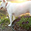 写真: ブリエッタとただの白い犬(笑)