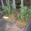 写真: ラベンダーの挿し芽。今のところ水栽培状態。灰色のは石灰です