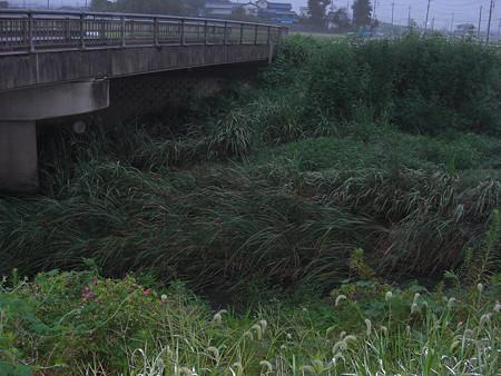 雨で増水して草が倒されてます(^^ゞ