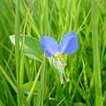 写真: ムラサキツユクサ これ結構好きな花♪