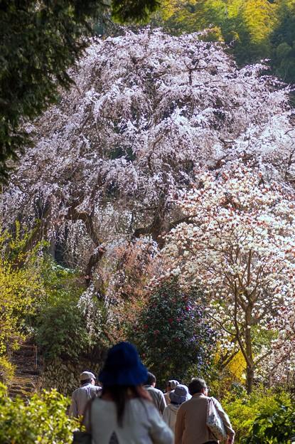 内山緑地のしだれ桜♪