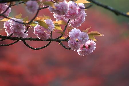 桜ともみじ