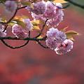 写真: 桜ともみじ